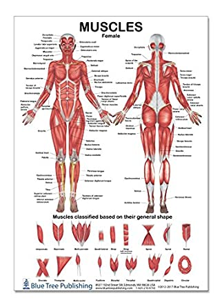 The Muscles Female Poster 12 * 17inch, for Physical Fitness, Working Out,  Muscular System Anatomical Chart