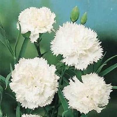 Carnation White Dianthus Grenadin 50 Seeds
