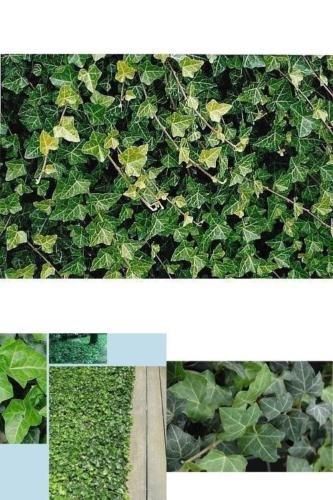 SS0144 Live Plant Baltic English Ivy 8 - Hardy Groundcover -1 3/4'' Pots Garden Deco New