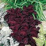 Outsidepride Coleus Black Dragon - 200 Seeds