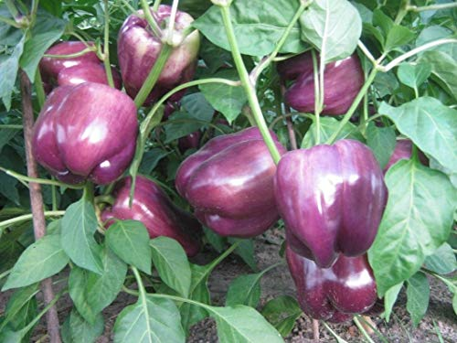 Lilac Sweet Hybrid F1 Bell Pepper Seeds - Great gourmet pepper for salads !!!!(10 - Seeds) ()