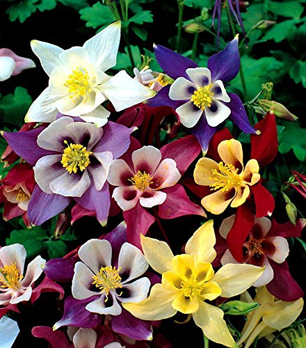 Aquilegia Organic Mix Seeds Columbine Plant Granny's Bonnet Wildflower up to 50 Seeds