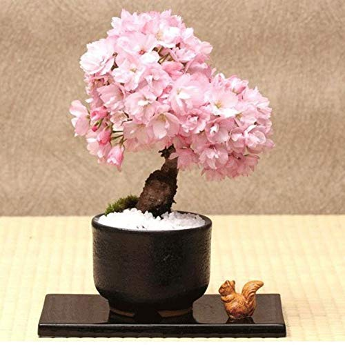 som Seed Fragrant Miniature Tree Flower Planting Seeds Garden Potted Plants ()