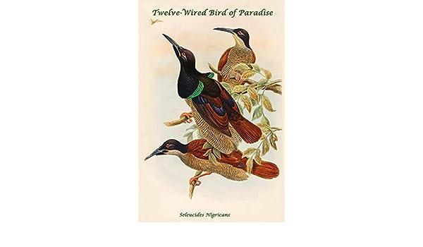Amazon.com: Seleucides Nigricans - Twelve-Wired Bird of Paradise ...
