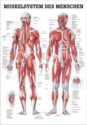 Ruediger Anatomie TA04LAM Muskelsystem des Menschen Tafel, 70 cm x 100 cm, laminiert