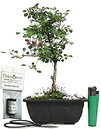 Micro Flowered Fuchsia Indoor Bonsai Tree Gift Set (actual Tree)