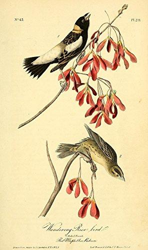(Posterazzi America 1844 Wandering Rice Bird Poster Print by J.J. Audubon, (18 x 24))