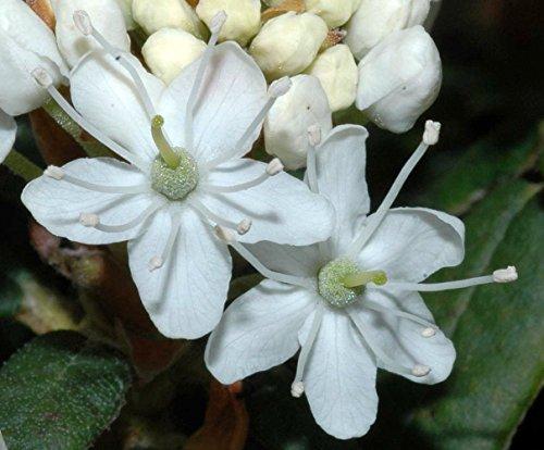 Labrador Tea Plant - Ledum groenlandicum - 4