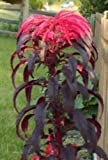 Amaranthus gangeticus Molten Fire 20 seeds