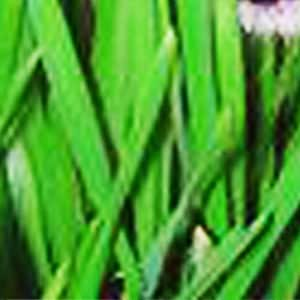200 SWEET BARLEY SEEDS FOR KITTY CAT GRASS SEEDS~easy to grow