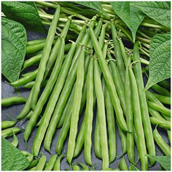 USA SELLER French Horticulture Bean 25-500 HEIRLOOM NON-GMO