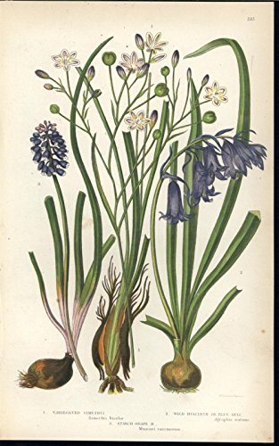 Variegated Simeths Wild Hyacinth c.1860 antique color lithograph