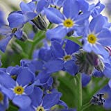 Everwilde Farms - 2000 Forget-Me-Not Wildflower Seeds - Gold Vault Jumbo Seed Packet