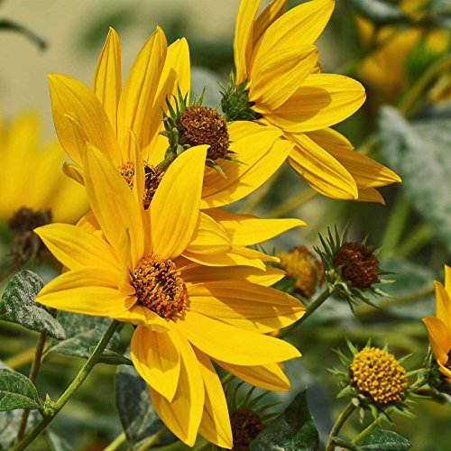 maximilian sunflower seeds - 5