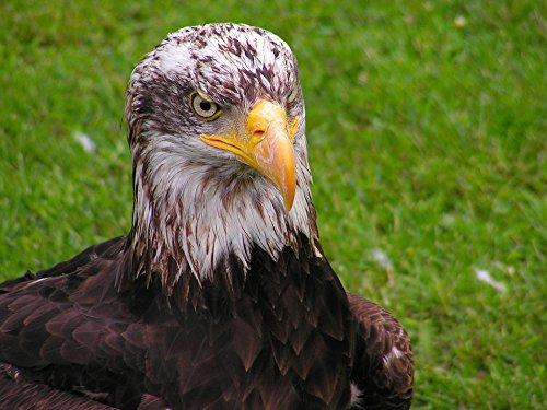 Bald Eagle Portrait - 7