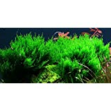 Flame Moss - Taxiphyllum sp 'Flame' - Live aquarium plant