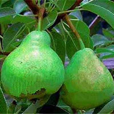 LEANO-Planting Perennial Temperate Pear Tree Seeds Garden Fruit Bonsai Seeds Fruits : Garden & Outdoor