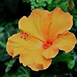 Yellow Hibiscus SYRIACUS Rose of Sharon Winter Hardy Seeds