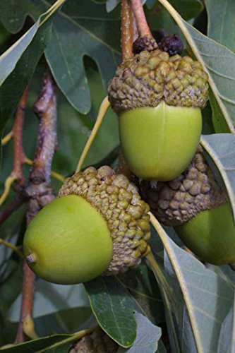 White Oak Tree - Deer Food Acorn Nut Established Rooted for sale  Delivered anywhere in USA