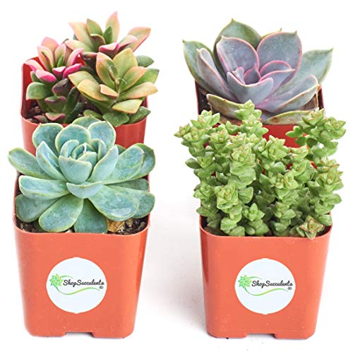 Shop Succulents | Unique Collection of Live Succulent Plants, Hand Selected Variety Pack of Mini Succulents | Collection of4