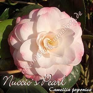 Kamelie 'Nuccio´s Pearl' - Camellia japonica, Grupo de precio:6