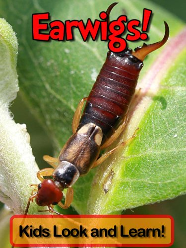 Earwigs! Learn About Earwigs and Enjoy Colorful Pictures - Look and Learn! (50+ Photos of Earwigs)