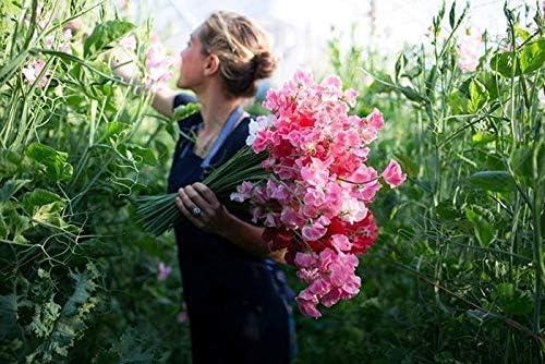 Organic Pea Vegetables Beautiful Plant Mix Color Flower para Home Garden Yards Plantaci/ón Lathyrus Odoratus Sweetpea Flower Seeds 10