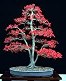 9GreenBox Japanese Red Maple 'Bamboo Leaf' - 5 Seeds