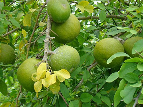 Quince Seed - 7