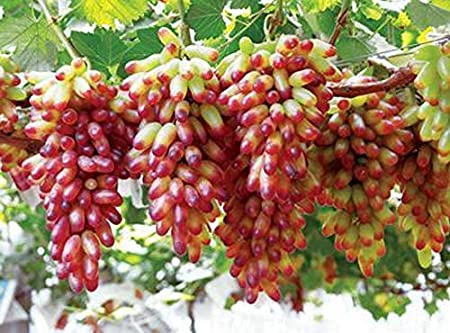 20pcs Semillas Frutales de Uva, Seeds Arboles de Vid Plantas ...