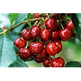 Live Sweet Cherry Fruit Plant Barbados cherry Plant