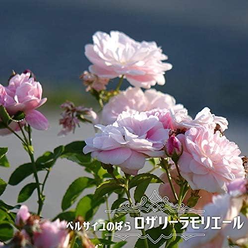 バラ苗 ベルサイユのばら ロザリーラモリエール 大苗 木立バラ 【メイアン】 四季咲き バラ苗木