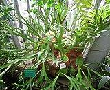 HIGH Germination Seeds:Staghorn Spore Platycerium Alcicorne Africa 1000 Spore
