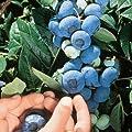 75+ Chandler Blueberry Seeds - JDR Seeds