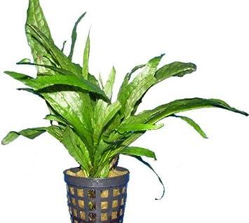 Plantas tropicales para acuario de agua dulce, plantas naturales para pecera: Amazon.es: Productos para mascotas