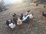 Fertile Chicken Hatching Eggs