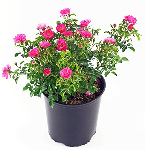 Pink Flower Carpet Rose, pink flowering rose in 2 Gallon pot Carpet Rose