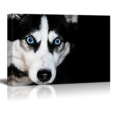 Dogs Series A Husky Dog Against Black Background