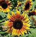 David's Garden Seeds Sunflower Firecracker DGS1746YB (Multi) 25 Hybrid Seeds