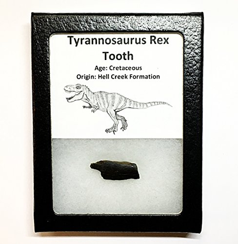 Tyrannosaurus Rex Tooth Fragment - Genuine Tooth Fossil i...