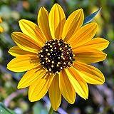 Beach Sunflower Helianthus debilis 10 Seeds