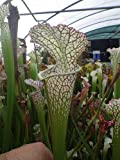 Sarracenia leucophylla A1 red-white - 5 seeds