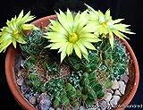 Go Garden Dolichothele Sphaerica (Mammillaria) Seeds 10+ Cactus Korn Graines Samen