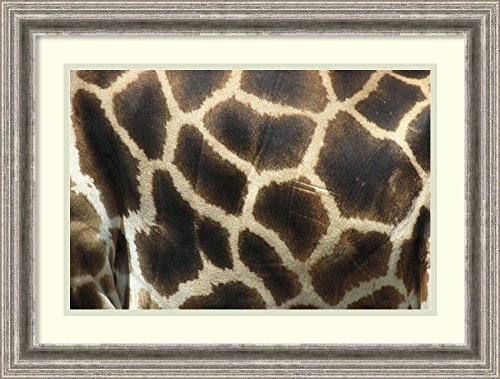 Framed Art Print 'Rothschild Giraffe detail of coat pattern, native to Uganda and Kenya' by San Diego - Print Coat Rothschild