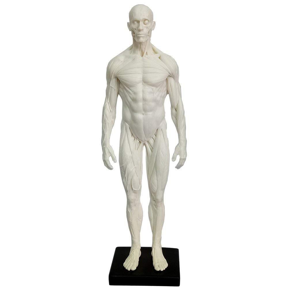 11.8 inch Male Human Muscle Model Statue Artist Sculpture Character Figurine Office Desktop Ornament (White) huaci