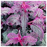 Purple Passion (Gynura Aurantiaca) Purple Velvet Plant 1-Cutting For You To Root