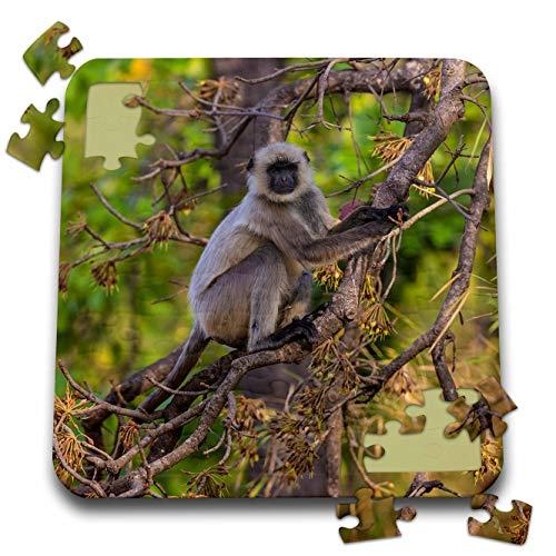 3dRose Danita Delimont - Monkeys - India. Grey langur, Hanuman langur, Semnopithecus Entellus - 10x10 Inch Puzzle (pzl_312716_2)