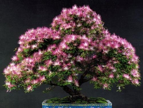 25 MIMOSA / PERSIAN SILK TREE Albizia Julibrissin ()