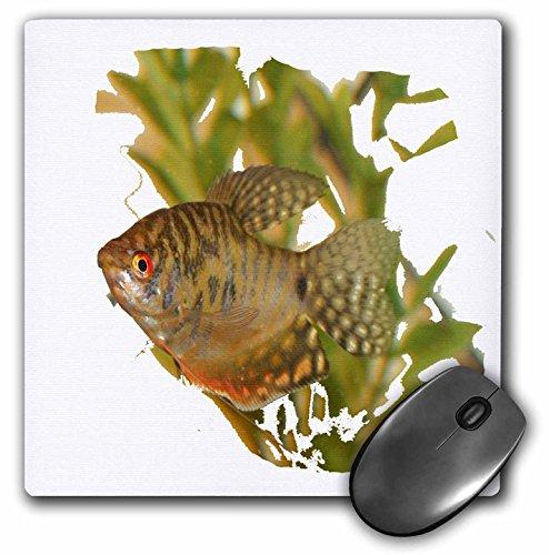 3dRose Susans Zoo Crew Animals Aquatic - Gold Gourami Freshwater Fish With Green - MousePad (mp_156243_1)