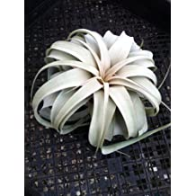 Air Plant - Tillandsia Xerographica - The King of Air Plants!